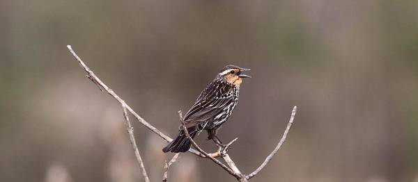 Red-winged Blackbird Wall Art - Photograph - Female Red Winged Blackbird Singing by Dan Sproul