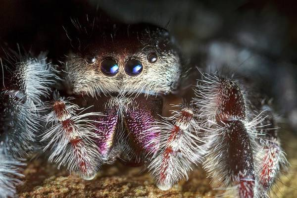 Female Regal Jumping Spider Art Print