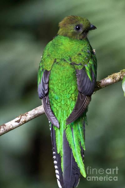 Quetzals Photograph - Female Resplendent Quetzal by Heiko Koehrer-Wagner