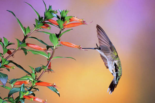 Wall Art - Photograph - Female Ruby-throated Hummingbird by Animal Images