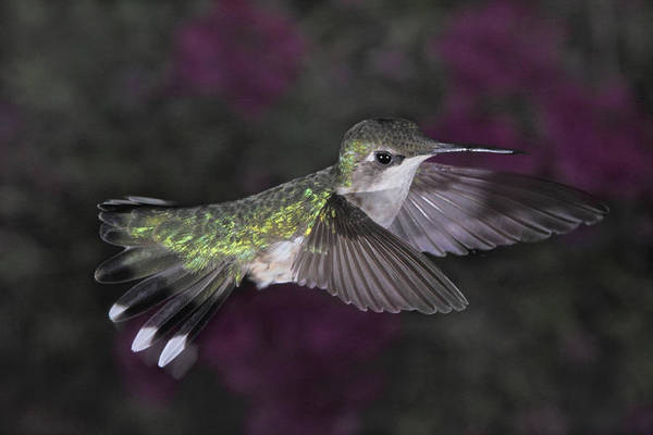 Photograph - Female Ruby Throated Hummingbird by Theo