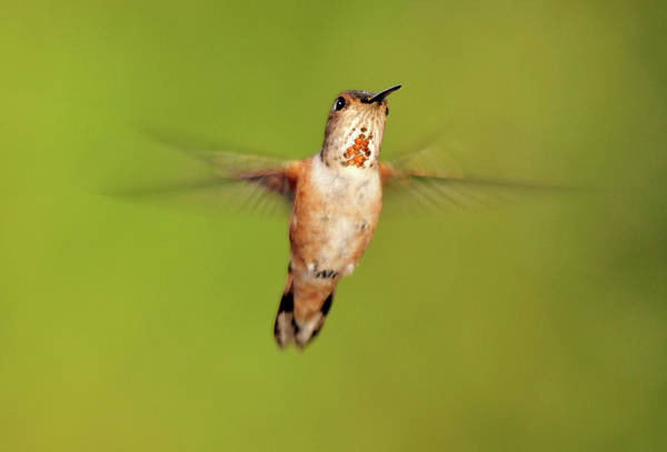 Rufous Photograph - Female Rufous Hummingbird In Flight by Barbara Rich