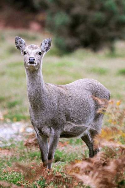 Introduced Species Photograph - Female Sika Deer by Colin Varndell