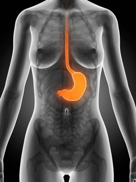 Esophagus Wall Art - Photograph - Female Stomach by Sebastian Kaulitzki