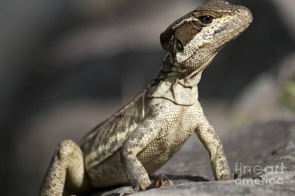 Photograph - Female Striped Lizard by Heiko Koehrer-Wagner