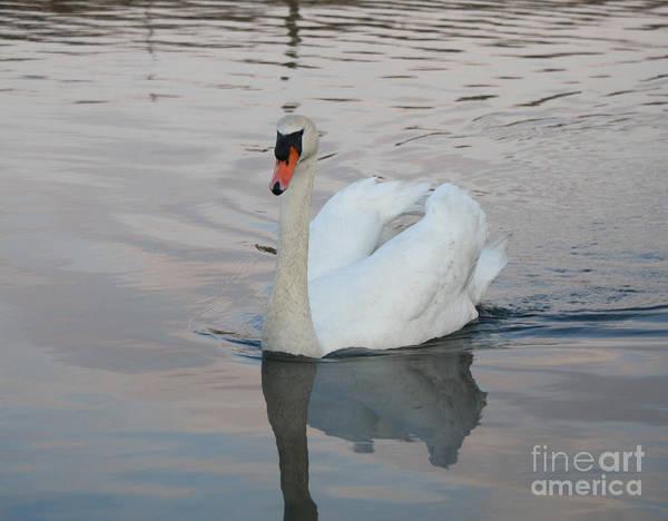Wall Art - Photograph - Female Swan by John Telfer