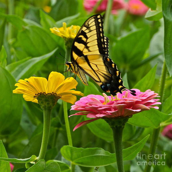 Photograph - Female Tiger Swallowtail Butterfly With Pink And Yellow Zinnias by Byron Varvarigos
