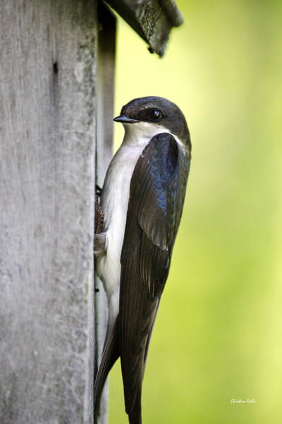 Photograph - Tree Swallow On Nestbox by Christina Rollo
