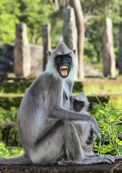 Old World Monkey Photograph - Female Tufted Grey Langur With Baby by Peter J. Raymond