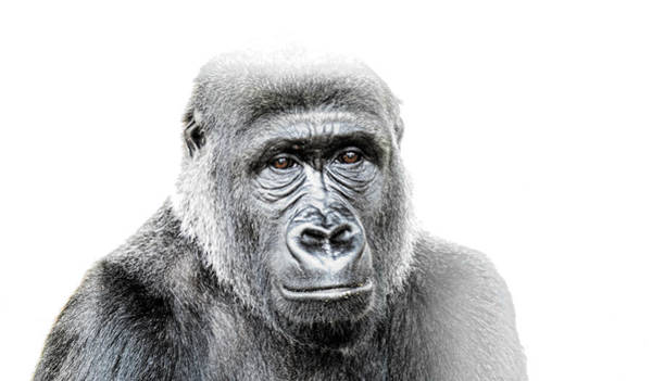 Photograph - Female Western Lowland Gorilla  by Stephen Barrie