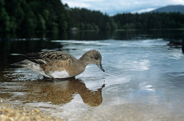 Garten Wall Art - Photograph - Female Widgeon by Duncan Shaw/science Photo Library