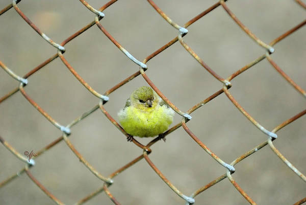 Photograph - Fence Sitter by Arthur Fix