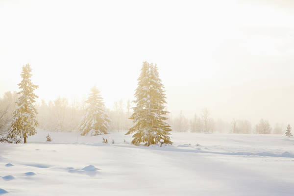 Lillehammer Photograph - Fer Trees In Snow, Norway by Betsie Van Der Meer
