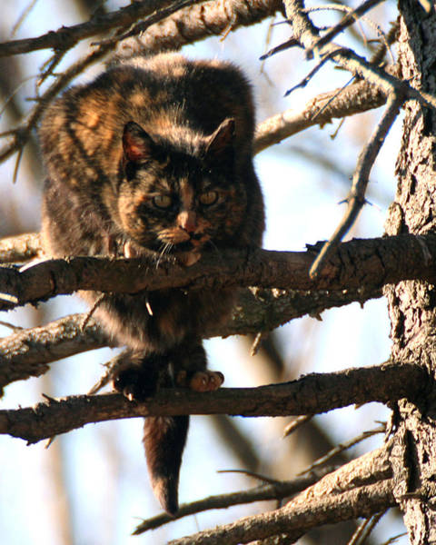 Photograph - Feral Cat In Pine Tree by William Selander