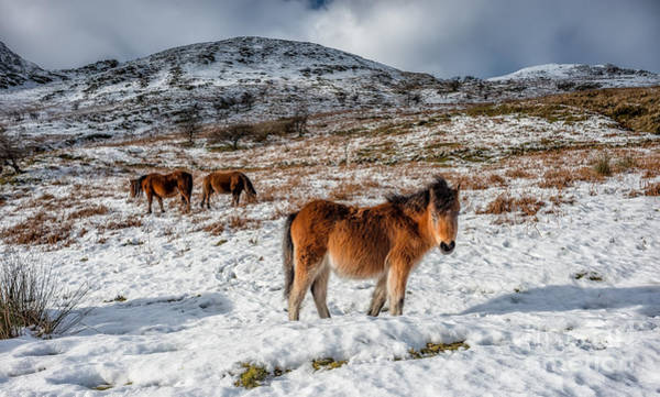 Ponies Photograph - Feral Horse by Adrian Evans