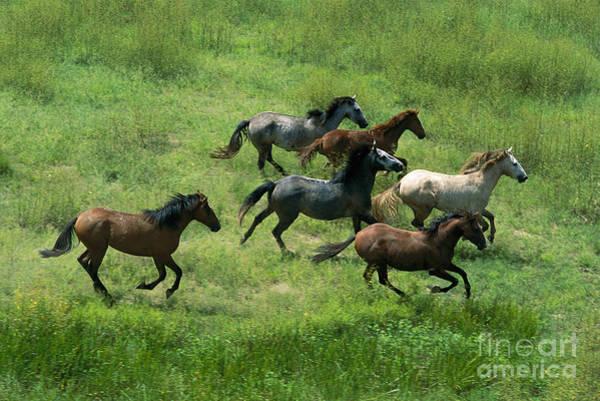 Photograph - Feral Horses Brumbies by Jean-Paul Ferrero
