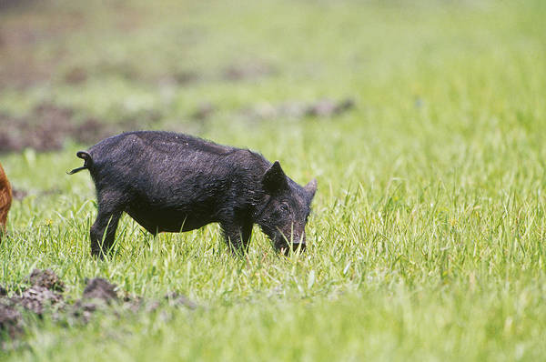 Photograph - Feral Pig In Florida by Paul J. Fusco