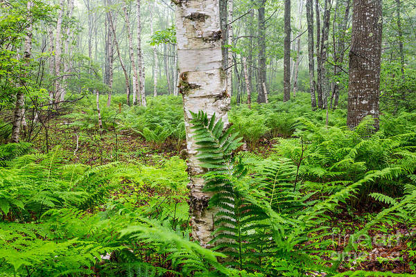 Photograph - Fern And Birch In Acadia 2 by Susan Cole Kelly