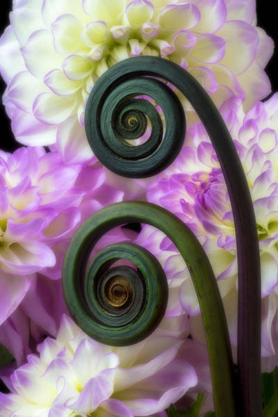 Softly Photograph - Fern And Dahlia's by Garry Gay