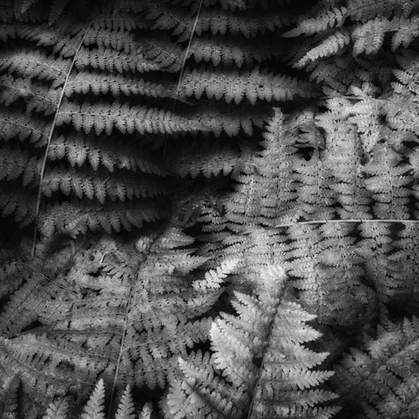 Photograph - Fern Black And White by Bill Wakeley