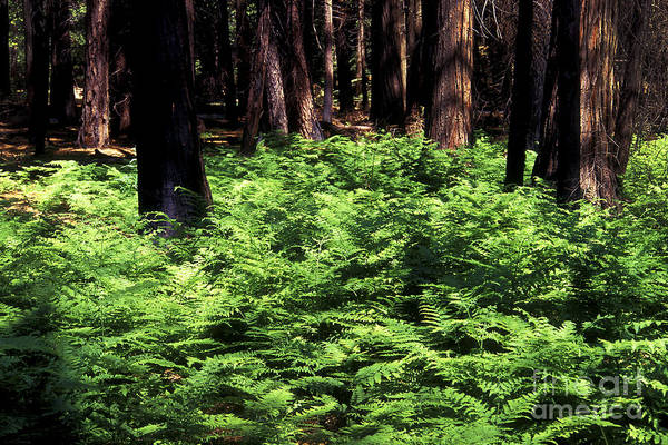 Photograph - Fern Blanket by Paul W Faust -  Impressions of Light