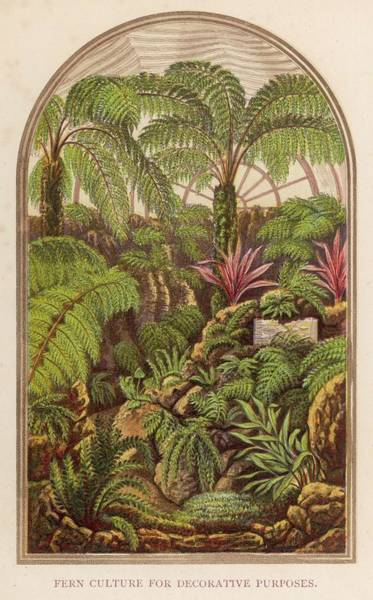 Ferns Drawing - Fern Culture For Decorative Purposes by Mary Evans Picture Library