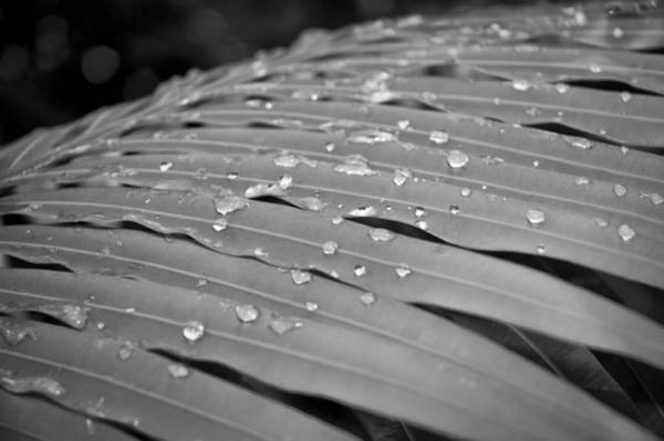 Photograph - Fern Drops - Bw by Carolyn Marshall