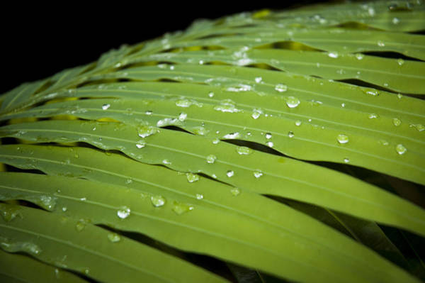 Photograph - Fern Drops by Carolyn Marshall