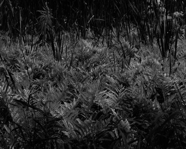 Photograph - Fern Field In Black And White by John Feiser