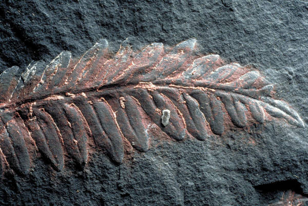 Wall Art - Photograph - Fern Fossil by Theodore Clutter