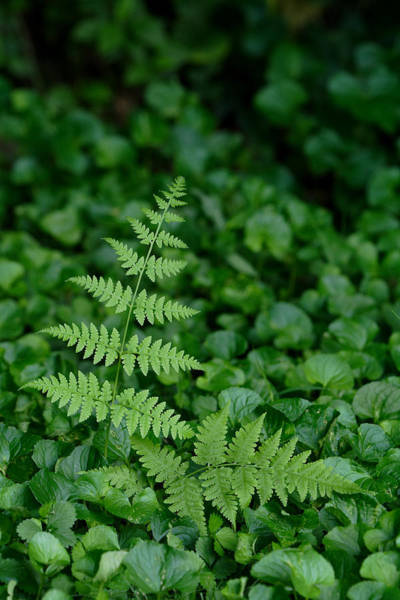 Photograph - Fern Fronds And Violet Leaves by Daniel Reed