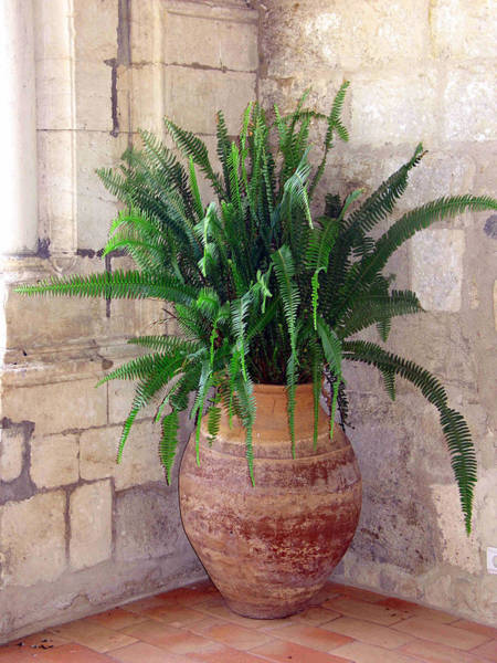 Photograph - Fern In Terra Cotta Pot by Gerry Bates
