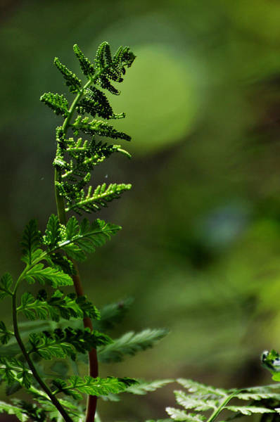 Chartreuse Photograph - Fern Song by Rebecca Sherman