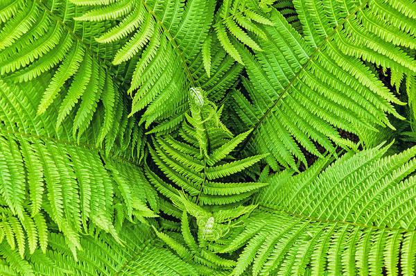Photograph - Ferns Below by Gary Slawsky