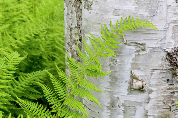 Wall Art - Photograph - Ferns Next To A Paper Birch Tree, Reed by Jerry and Marcy Monkman
