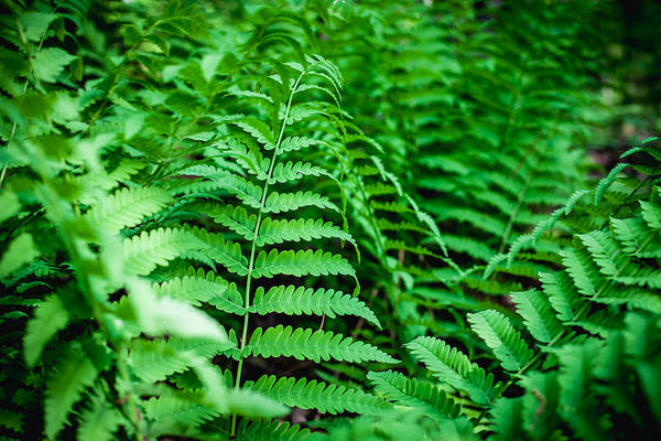 Photograph - Ferns by Robert Clifford