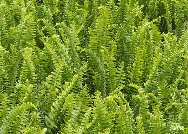 Photograph - Ferns by Wanda Krack