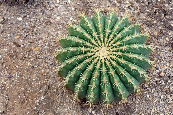 Cactaceae Photograph - Ferocactus Histrix Cactus by Daniel Sambraus/science Photo Library