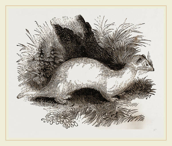 Ferrets Drawing - Ferret by Litz Collection