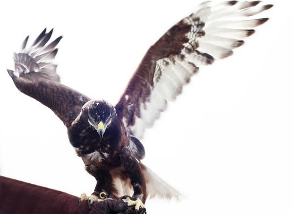Taking Off Photograph - Ferruginous Hawk Landing On Falconers by Vicky Kasala Productions