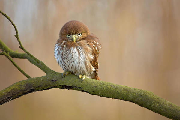 Wall Art - Photograph - Ferruginous Pygmy Owl by Milan Zygmunt