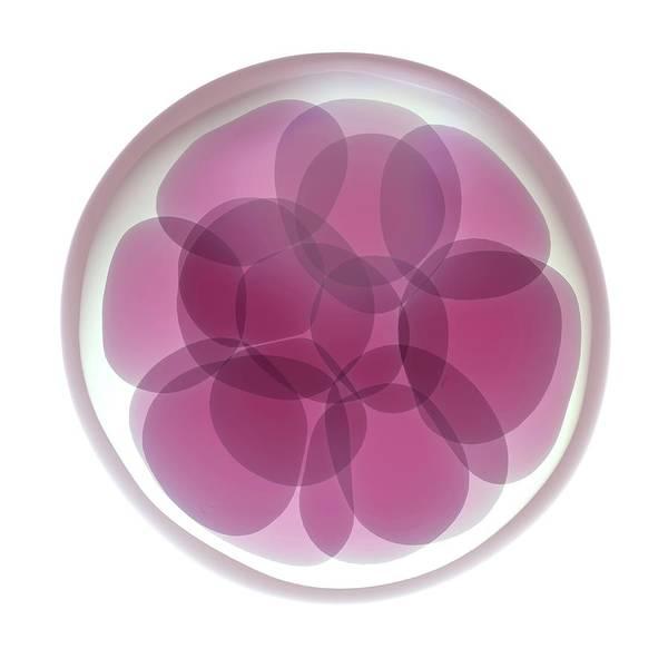 Fertilised Egg Cell Dividing Art Print by Maurizio De Angelis