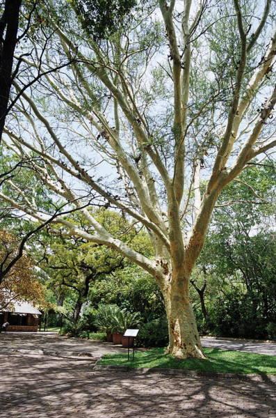 Fever Photograph - Fever Tree (acacia Xanthophloea) by Sheila Terry/science Photo Library