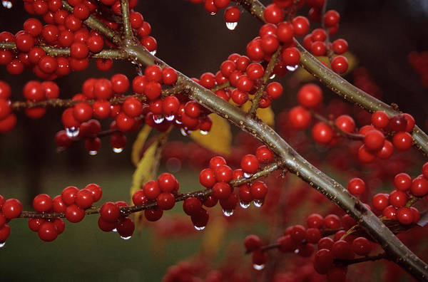 Alder Photograph - Feverbush Berries (ilex Verticillata) by Donald R Wright/science Photo Library