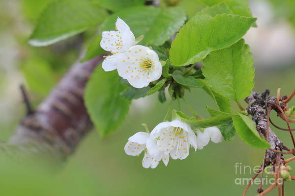 Photograph - Few Cherry Blossoms by Donna L Munro