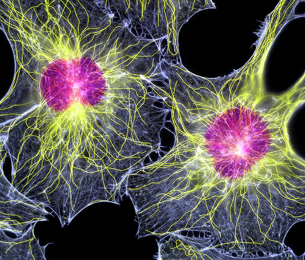 Wall Art - Photograph - Fibroblast Cells Showing Cytoskeleton by Dr Torsten Wittmann