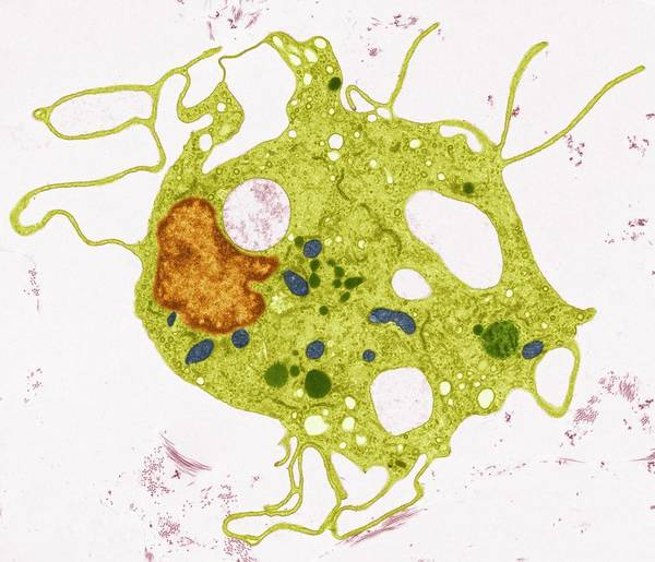 Electron Micrograph Wall Art - Photograph - Fibroblast by Steve Gschmeissner