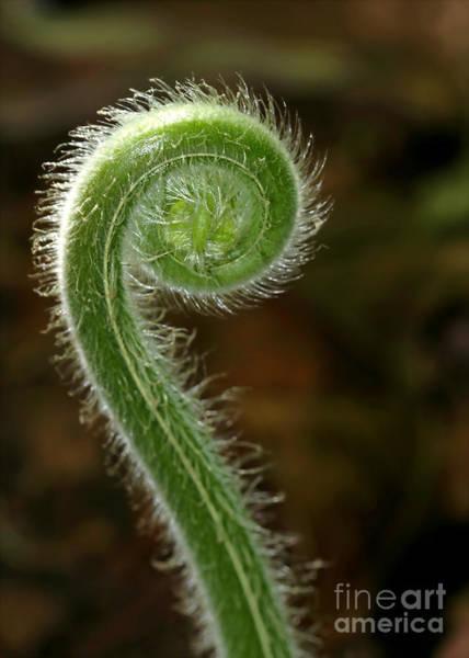 Photograph - Fiddlehead Fern Curl by Sabrina L Ryan