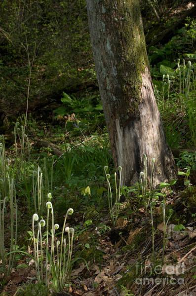 Photograph - Fiddlehead Ferns 1 by Chris Scroggins
