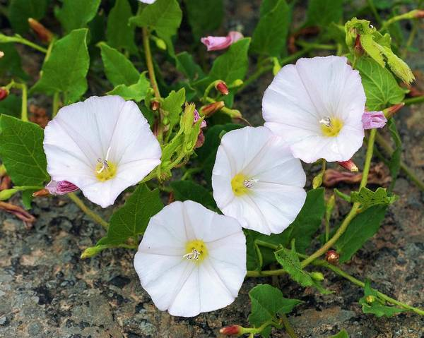 Convolvulaceae Wall Art - Photograph - Field Bindweed (convolvulus Arvensis) by Annie Haycock